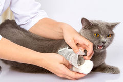 Lekarka i Brytyjski kot na białym tle Zdjęcia Stock