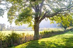 Lekcy filtry przez wielkiego dębowego drzewa w Anglia zdjęcie stock