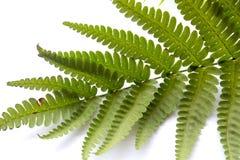 Lekcy paproci zieleni liście obraz royalty free