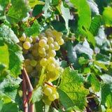 Lekcy winogrona Zdjęcia Royalty Free
