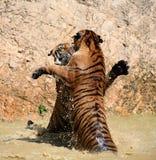 Leken de stora tigrarna i sjön, Thailand Arkivbild
