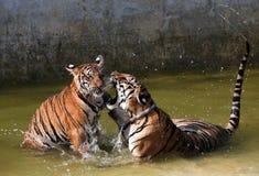 Leken de stora tigrarna i sjön, Thailand Royaltyfri Bild