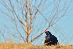 Leking black grouse Tetrao tetrix, blackgame (Lyrurus tetrix). Stock Photography