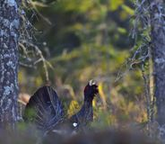 Leking Capercaillie (Tetrao urogallus) male in the spring forest. Leking male of Capercaillie (Tetrao urogallus) in the spring forest. The western capercaillie Royalty Free Stock Image