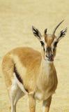 Lekker - gazelle léchant sa bouche Photo stock