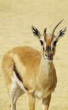 Lekker - Gazelle licking its mouth Stock Photo