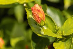 Lekki czerwieni róży pączek obraz stock