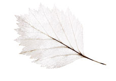 Lekki liścia kościec odizolowywający na bielu Obrazy Stock