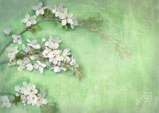 Lekki tło z białymi kwiatami na gałąź Obraz Stock