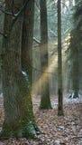 Lekki wchodzić do mgłowy las obraz stock