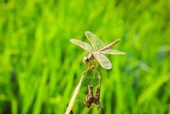 Lekki złoty dragonfly Obraz Stock