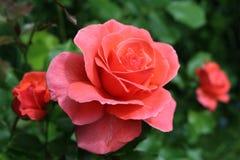 Lekkie Czerwone róże zdjęcia stock