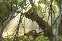 lekkie leśnych belki Obrazy Stock