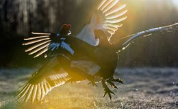 Lekking黑色松鸡(Lyrurus tetrix) 库存照片