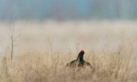 Lekking Black Grouse Royalty Free Stock Photography