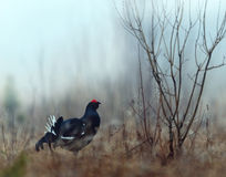 Lekking Black Grouse Stock Images