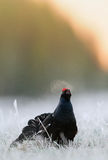 Lekking Black Grouse Stock Photography