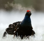 Lekking Black Grouse Royalty Free Stock Photo