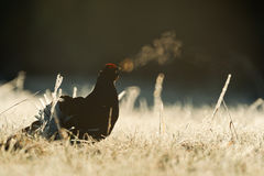 Lekking Black Grouse Royalty Free Stock Images