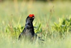 Lekking black grouse Royalty Free Stock Photo