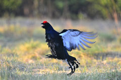 Lekking  black grouse Stock Photo