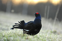 Lekking  black grouse Royalty Free Stock Image