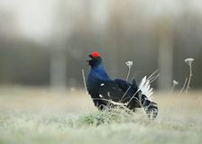 Lekking  black grouse Stock Image