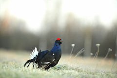 Lekking  black grouse Royalty Free Stock Photos