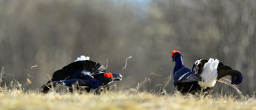 Lekking Black Grouse ( Lyrurus tetrix). Royalty Free Stock Photo