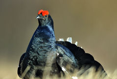 Lekking Black Grouse ( Lyrurus tetrix). Stock Image