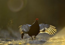 Lekking Black Grouse ( Lyrurus tetrix). Stock Photography