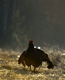 Lekking Black Grouse ( Lyrurus tetrix). Royalty Free Stock Photos