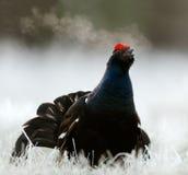 Lekking Black Grouse Royalty Free Stock Image
