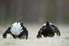 Lekking Black Grouse Stock Image