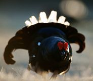 Lekking Black Grouse ( Lyrurus tetrix). Royalty Free Stock Images