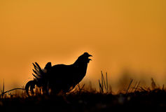 Lekking black grouse (Tetrao tetrix) Stock Photography