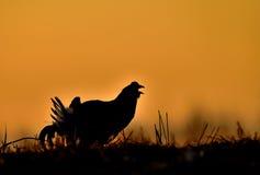 Lekking black grouse (Tetrao tetrix) Stock Photography