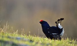 Lekking  black grouse (Tetrao tetrix) Royalty Free Stock Images