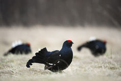 Lekking black grouse (Tetrao tetrix)k. Royalty Free Stock Image