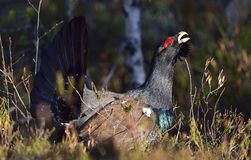 Lekking Capercaillie (Tetrao urogallus) male in the spring forest. The western capercaillie (Tetrao urogallus). Capercaillie (Tetrao urogallus) male in the Royalty Free Stock Images