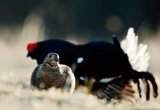 Lekking黑色松鸡(Lyrurus tetrix) 男和女性 图库摄影