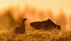 Lekking黑松鸡(Lyrurus tetrix)男性和女性剪影反对黎明天空 图库摄影
