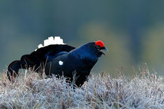 Lekking nice bird Black Grouse, Tetrao tetrix, in marshland, Sweden. Cold spring in the nature. Wildlife scene from north Europe. Stock Photography