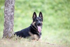 Lekmanna- yttersida för tyskShepard hund under träd Arkivbild