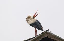 Leks белого аиста на крыше Стоковая Фотография