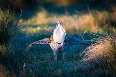 Leks Afiado-atados do galo silvestre Foto de Stock