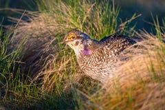 Leks Afiado-atados do galo silvestre Fotografia de Stock
