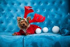 Leksak för soffa för terrier för tiffany blå för turkos för soffa för fotoperiod för färg för hund för husdjur jul för nytt år rö fotografering för bildbyråer