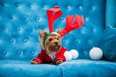 Leksak för soffa för terrier för tiffany blå för turkos för soffa för fotoperiod för färg för hund för husdjur jul för nytt år rö arkivbild