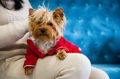 Leksak för soffa för terrier för tiffany blå för turkos för soffa för fotoperiod för färg för hund för husdjur jul för nytt år rö arkivfoton